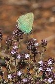 Argus vert posé sur du Thym en fleur Vaucluse France