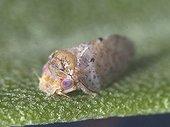 Olive Psyllid adult on Olive leaf ; Size: 2.2 mm.