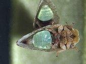 Olive Psyllid adult female ; Size: 2.2 mm.