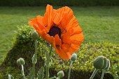 Horticultural Poppy flower variety 'Perry' Bourgogne France