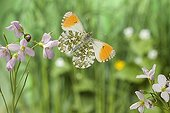 Male Orange Tip flighting Saone-et-Loire