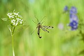 Scorpion Fly  in flight near an inflorescence France