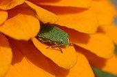 Green shield bug on a Zinnia flower Dinan France