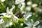 Rose chafers mating in the middle of flowers France