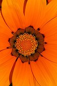 Flower of Gazania in close-up France