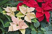 Poinsettia France ; Tropical green house of Sens