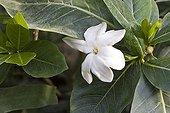 Tiare flower France ; Tropical green house of Sens