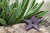 Stapelia House air depollution plant France ; Tropical greenhouse of Sens