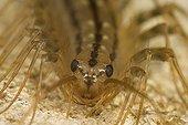 House centipede Saône et Loire France