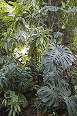 Philodendron House air depollution plant France ; Tropical greenhouse of Sens