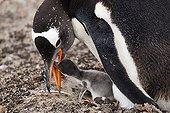 Manchot papou nourrissant son poussin au nid Falklands ; Sur l'Ile Saunders.