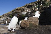 Rockhopper penguin walking next to an Albatross nest ; On Saunders Island, each parcel of cliff is colonized by the black-browed albatross and gorfous jumpers. The cohabitation between these 2 species is peaceful.