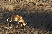 Black-faced Impala Etosha National park Namibia