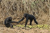 Chimpanzee female fearful by a male Cameroon ; Female chimpanzees fearful by a male, it pushes cries of fear and hands him a hand in order to obtain a banana