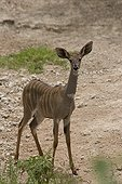 Young lesser kudu male on a salt system Tanzania ; In Masai country.<br>@ Salt-system (environment)