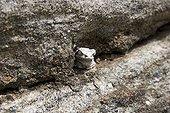 Amphibien camouflaged on rocks Masai Country Tanzania