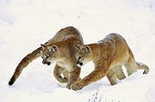 Couple of Mountain lion in the Rocky Mountains Montana USA