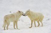 Tenderness between two Arctic Wolves