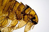 Head of Catfleas female under microscope ; Lighting in clear bottom, magnification x 60.