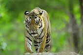 Bengal Tiger male browsing its territory India ; Tigre 5 years old. [AT]