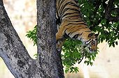 Bengal Tiger down a tree PN Bandhavgarh India ; Scene rare to see a tigre in a tree