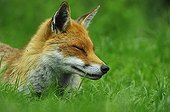 Red Fox resting in grass England