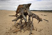 Stump isolated in a sand sea Netherlands