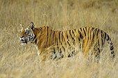 Bengal Tigress observing a bird Bandhavgarh NP India
