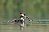 Great Crested Grebe with a green frog in the beak