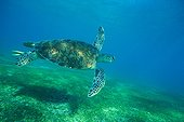 Grenn Turtle Mayotte island Indian ocean