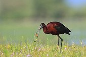 Glossy Ibis in a meadow flooded with Greece Kerkini