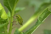 Bedbug climbing on a Datura leaf in summer Dordogne