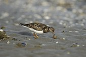 Ruddy Turnstone catching a green crab France