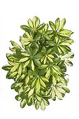Foliage Schefflera