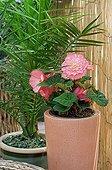 Begonia in bloom on a garden terrace