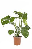 Philodendron in flowerpot