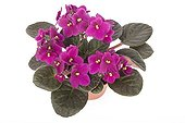 African violet pink in flowerpot
