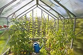 Tomatoes and watering in a greenhouse garden