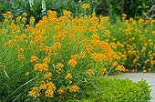 Wallflowers 'Orange' in bloom in a garden