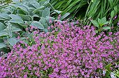 Red Campion in bloom in a garden