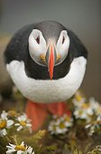 Atlantic puffin in a mayweeds carpet Iceland