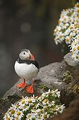 Atlantic puffin posed on a cliff near mayweeds Iceland