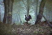 Grand tétras mâle en parade sur une souche Vosges France