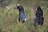 Grand tétras mâle en parade Vosges France
