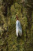 Lantern fly on bark Mount Kinabalu National Park Malaysia