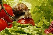 Escargot de Bourgogne dans une salade