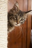 Maine Coon kitten near a cat tree