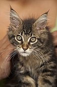 Curious tabby Maine Coon kitten