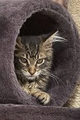 Tabby Maine Coon kitten lying in a cat tree