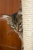 Tabby Maine Coon kitten stalking behind a cat tree
